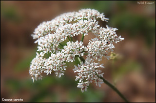 June Wild Carrot | by - Sharsono