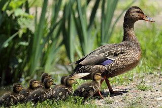 Mallard with Ducklings at Kenilworth | by Mr.TinDC