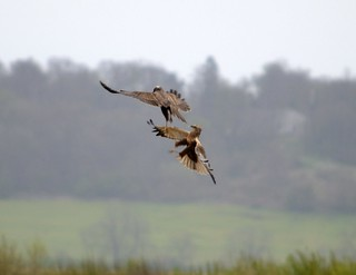 Pair of Harriers | by GemElle Photography - off & on sorry