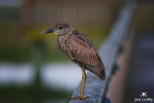 Night Heron Hilton Head Island