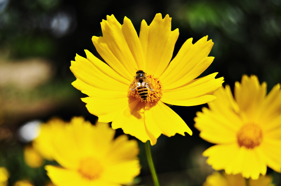 Yellow cosmos flower and bee many thanks for the visits c flickr yellow cosmos flower and bee by enhan mightylinksfo