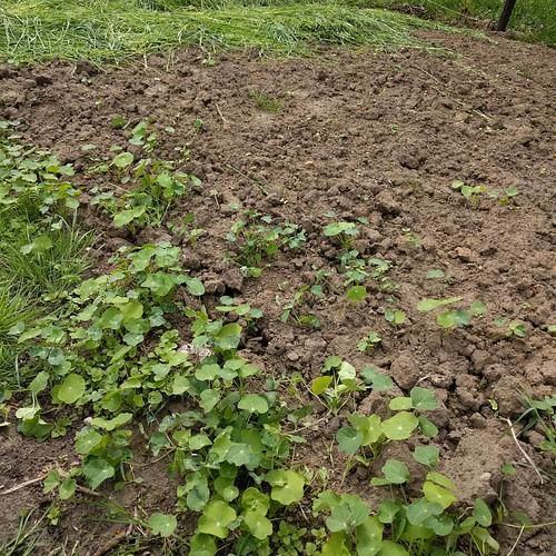 Oost-Indische kers stond nochtans niet op het #moestuinplan 😒 #indringer #indenhof #samentuinen #projectindenhof #eetbaarherent #gardening #tuinieren #samentuin #volkstuin