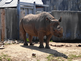 Black Rhino at Potter Park Zoo | by david_shane