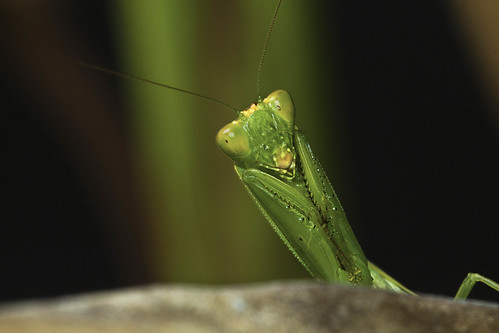 Praying Mantis | by eaglemini