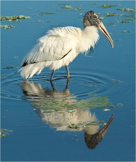 Woodstork Reflection | by billkominsky 