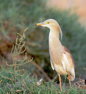 Indian Pond Heron in Breeding Plumage | by Koshyk