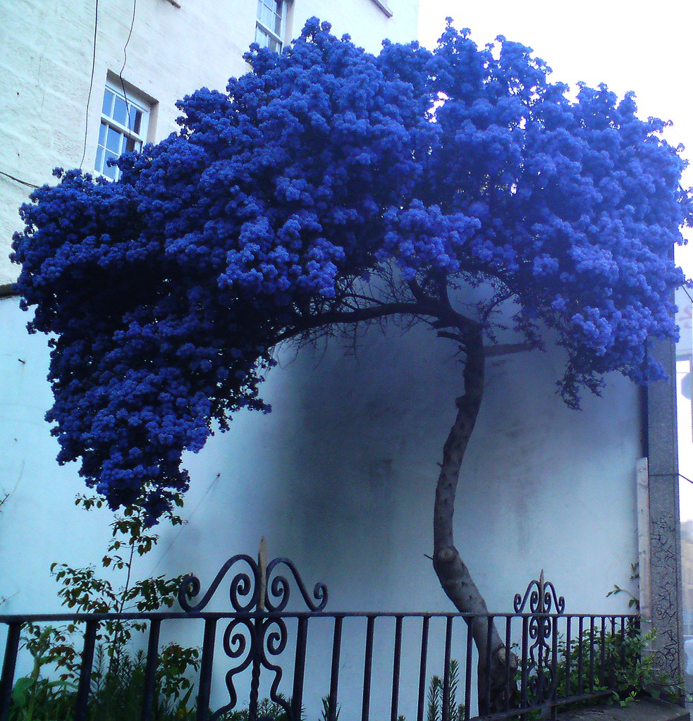 A strange lonely blue tree walking down leithwalk i met th flickr a strange lonely blue tree by klio1961 izmirmasajfo Images