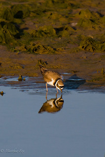 Little Ringed Plover | by the_sky_is_falling_