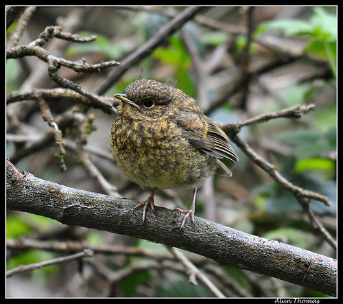 Baby Robin | by dralun10