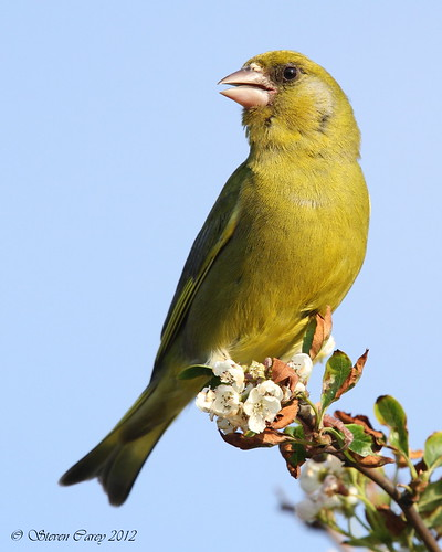 Greenfinch (Carduelis chloris) | by Steve's Wildlife Photography