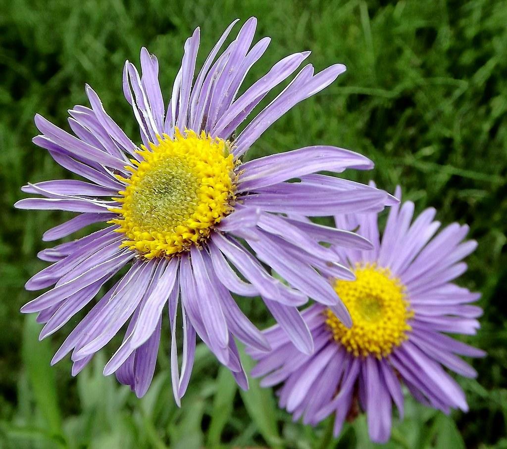Purple Flower Yellow Center Jamie 17 Flickr