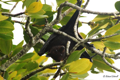 Black Flying Fox (Pteropus alecto) | by Camera Trap