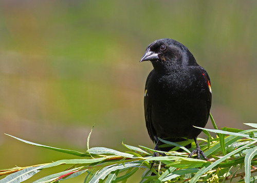 Red-winged Blackbird...#8 | by Guy Lichter Photography - 3.7M views Thank you