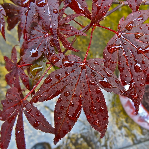 Red Leaves in the Rain | by Irene's Daily Pics is now a Page on Facebook