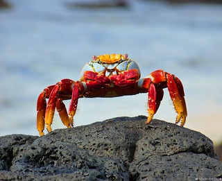 Red Rock Crab | by Alan Travers