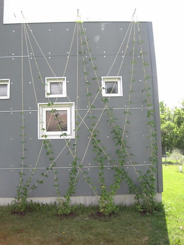 hops vines june 2012 | by splatgirl
