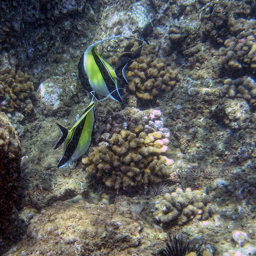 moorish idol pair | by peggy.