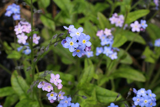 FORGET- ME-NOTS | by Adam Swaine