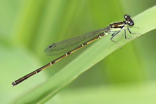 Male Fragile Forktail | by Dave W.