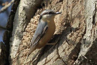nuthatch | by foxylady29 Carole Fox