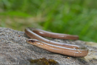 Anguis fragilis | by ACREMAR