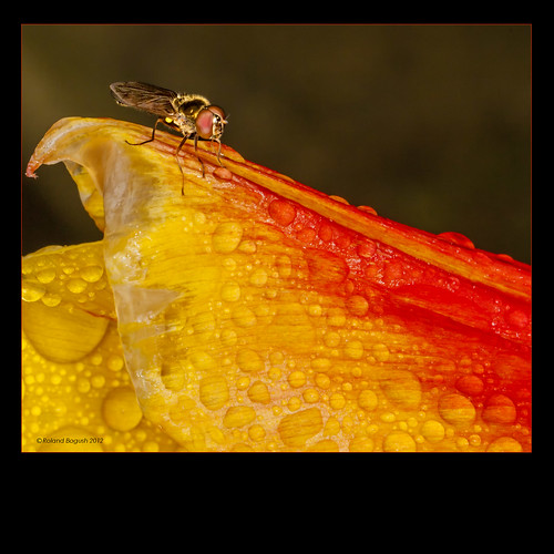 Fly on tulip with raindrops | by Roland Bogush