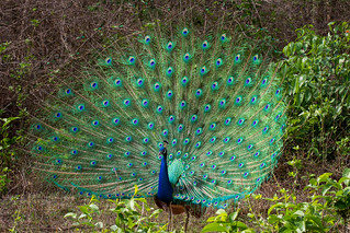 Proud Peacock | by jeff_a_goldberg