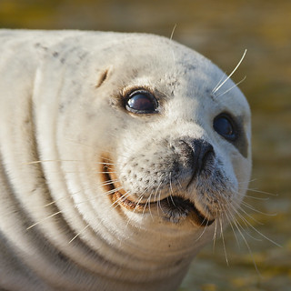 seal smile | by Hans Surfer (where the action is)