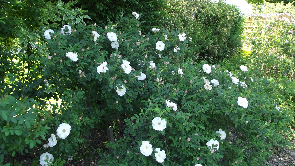 Henry Hudson Rose I | Dubuque Arboretum and Botanical Garden… | Flickr