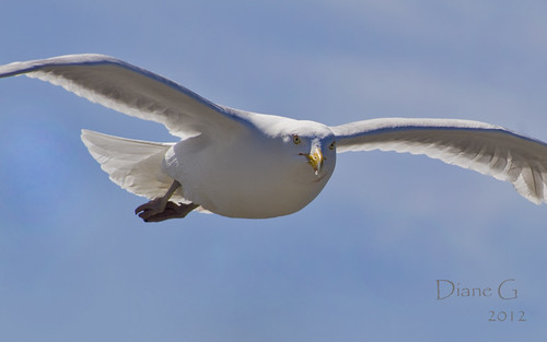 Gull In-Flight | by Diane G. Zooms---Mostly Off