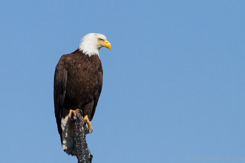 Bald Eagle on a Burnt Tree | by rracine1