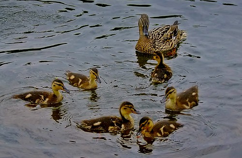 Baby Ducks | by fleckchen