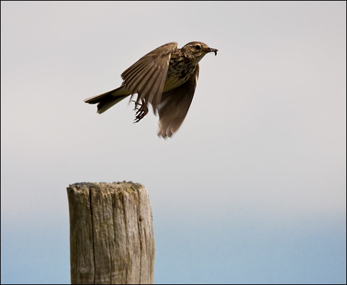 Meadow Pipit in Flight | by Gary Stamp cPAGB