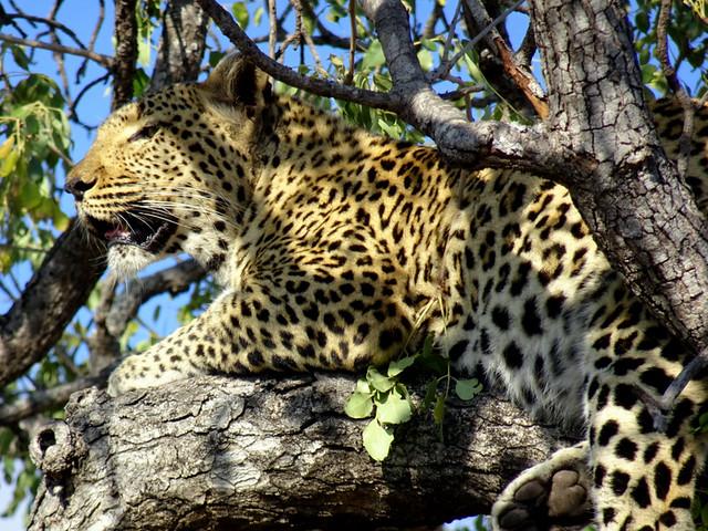 Lion Sands Safari Day 3- Leopard-004