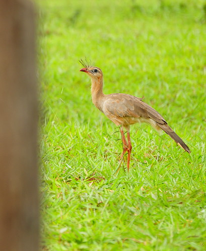 Red-legged Seriema | by lilac_breasted_roller