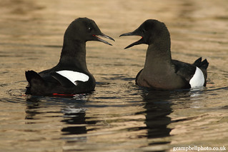 Black Guillemot - Courtship and Display (more below) | by gcampbellphoto