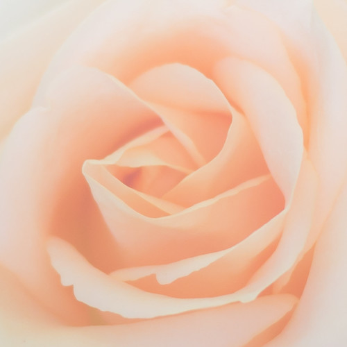 Sunday's Rose | by aminefassi