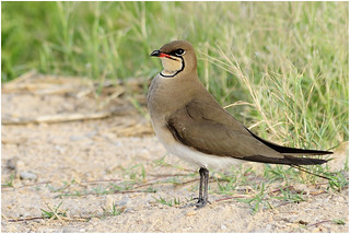 Collared Pratincole_DSC7744 | by ajith.everester