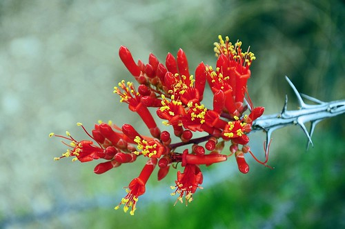 Ocotillo Blossoms- | by *97