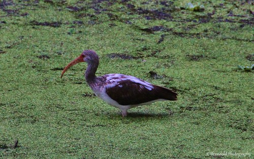 Ibis @CBBR - IMG_9440 60D | by Brandohl Photography [Wendy]