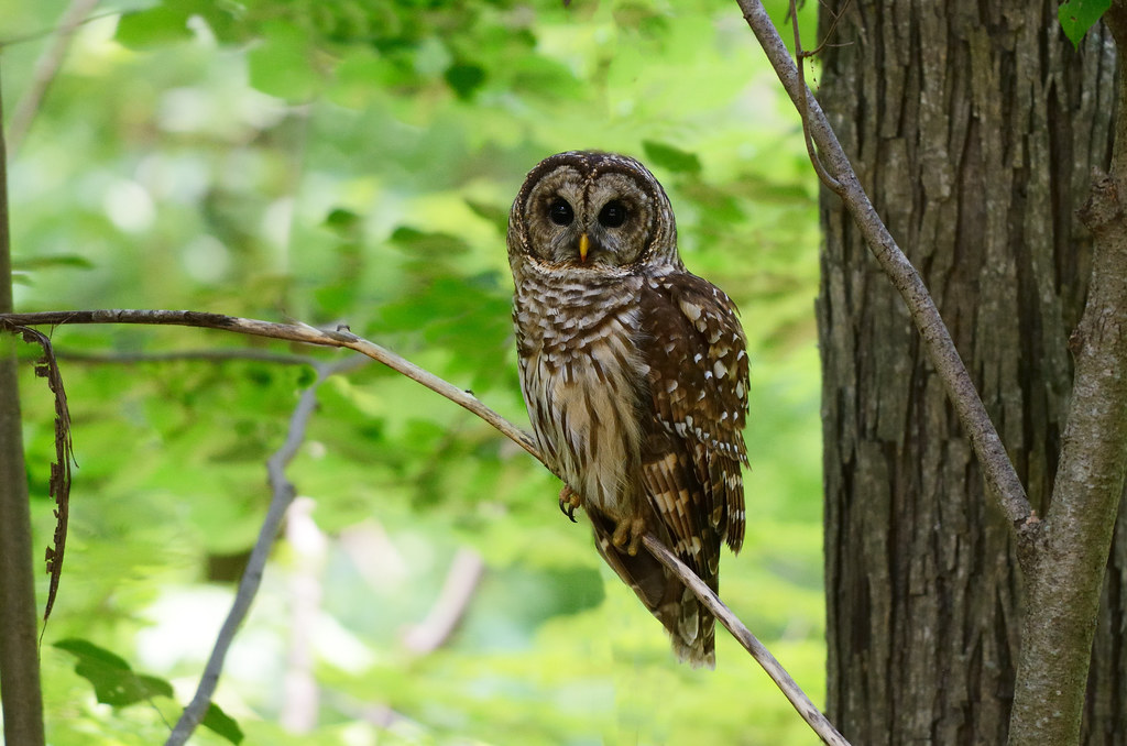 Image result for barred owl