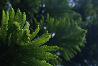 Araucaria | by Veronica Mena