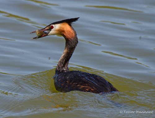 GREAT CRESTED GREBE | by Trevsbirds