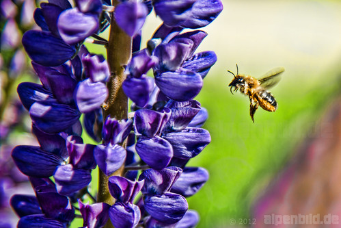 Purple Lupine and  a busy Bee | by alpenbild.de