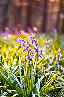 Bluebell Bokeh | by SquidVW