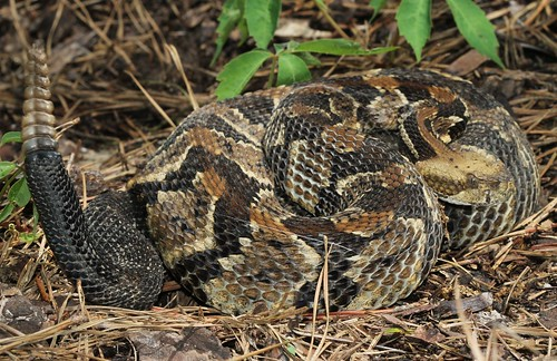 Timber Rattlesnake  (Crotalus horridus horridus) | by Daniel S Thompson