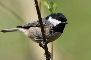 Coal Tit | by pixelbob