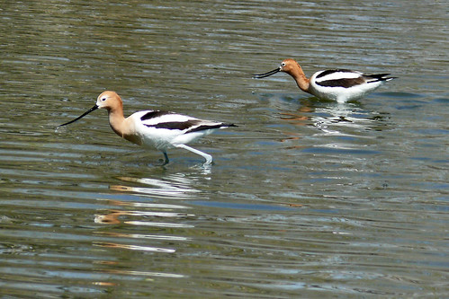 American Avocets are back | by colographicalchemy I'm back