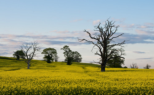 Oilseed | by Graham Vincent
