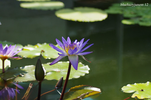 Water Lilies ~ Tina #2 ~ | by bluehazyjunem